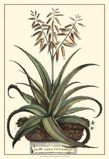 Antique Munting Aloe III by Abraham Munting art print