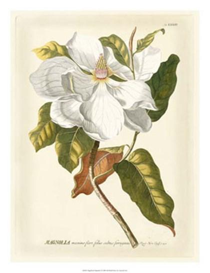 Magnificent Magnolias I by Jacob Trew Christoph art print